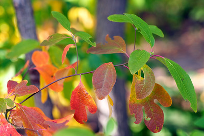 Red and Green Leaves Together on the same branch