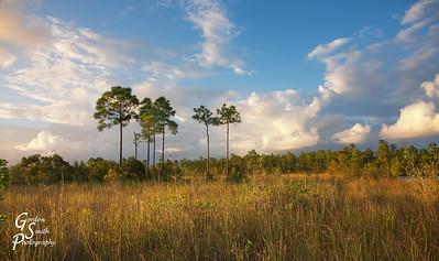Seven Pine Trees
