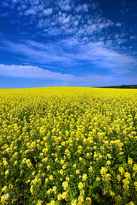 Field of Mustard Flowers Summer in Idaho is a beautiful thing.  These mustard fields blew my mind with their sunshine yellow color!