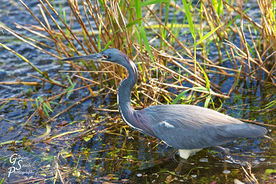 Tricolored Heron Wading