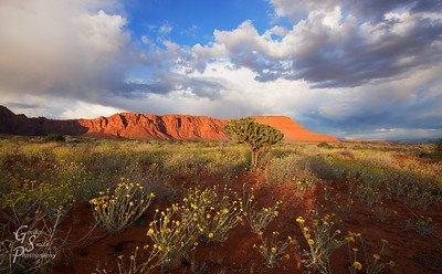 Storm and Sunset After a day of stormy weather, beautiful sunshine came out at the same time as sunset.  Storm clouds blow over the red cliffs as wildflowers and cactus enjoy a few moments of sunshine.