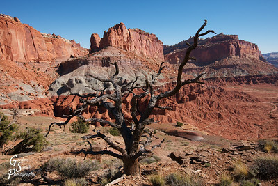 Dead Tree and Capitol Reef Cliffs