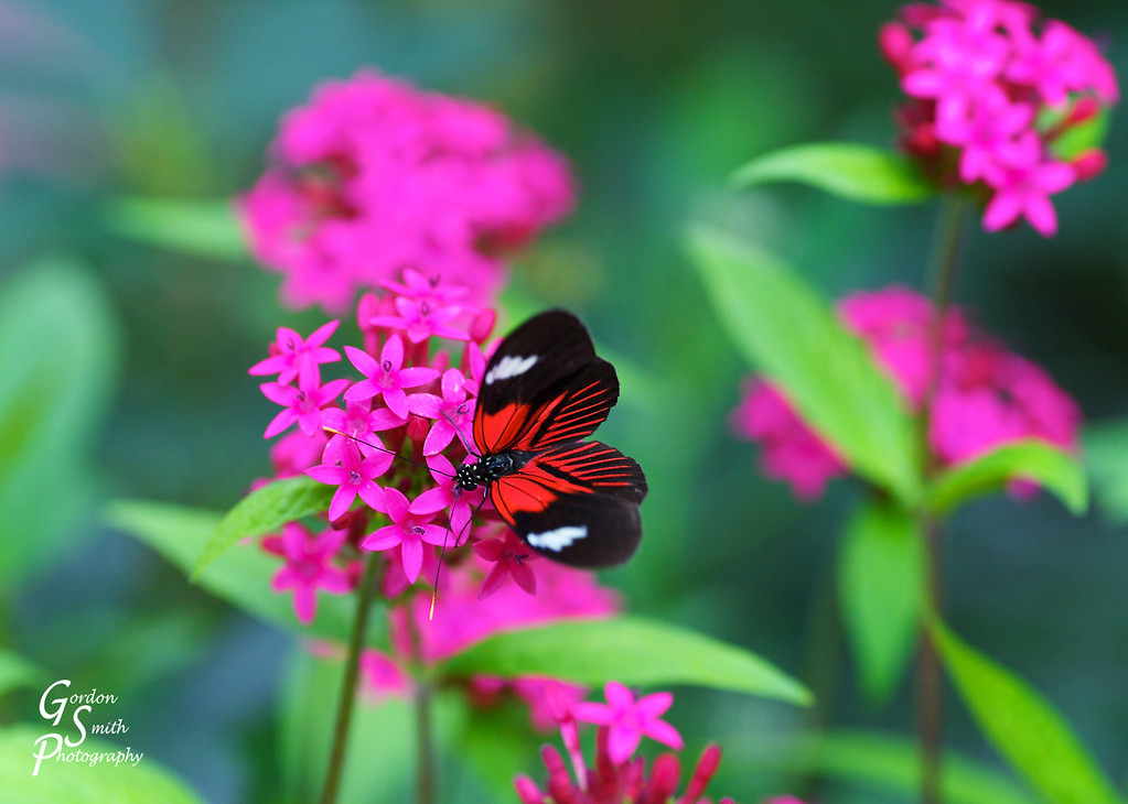 Red Butterfly, Pink Flowers