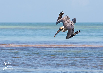 Diving Pelican going fishing at Bahia Honda state park