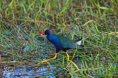 Purple Gallinule walking