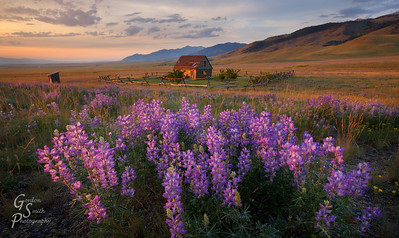 Lupine Sunset and Peaceful Cabin As the last rays of sun light up Madison Valley, the lupine wildflowers and a small cabin shine with color and beauty.