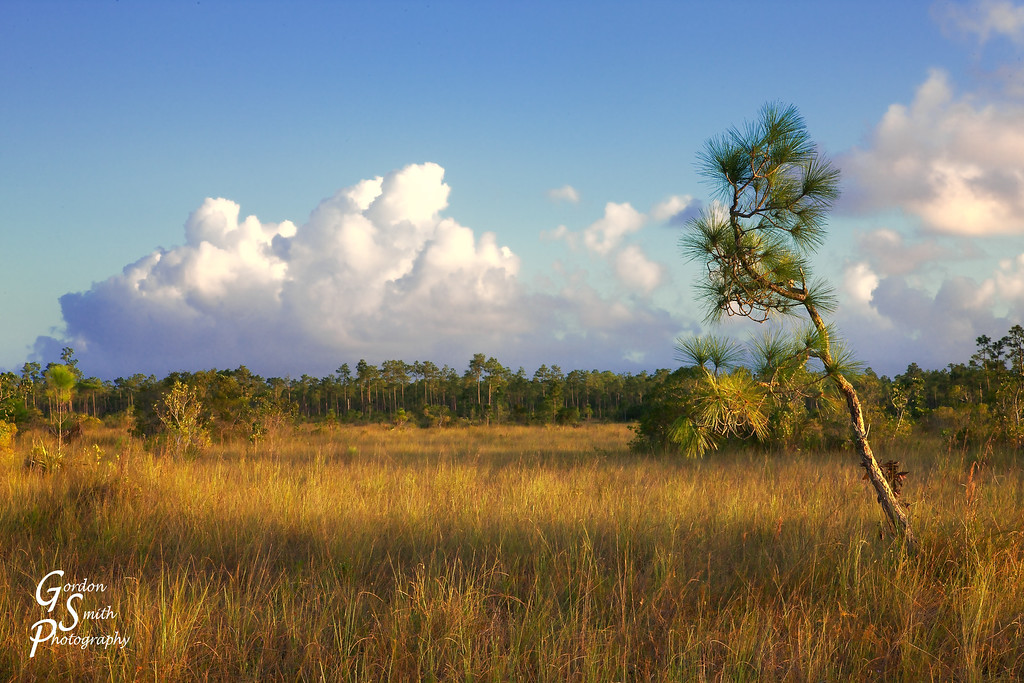 pine and clouds in everglades florida