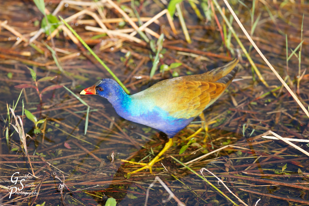 Purple Gallinule Wading