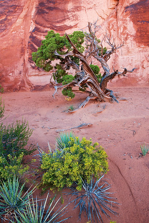 Wildflower, Yucca, Juniper Three desert plants in one photograph, taken in Arches National Park.