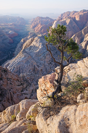 Tiny Rugged Pine Tree at Snow Canyon Overlook