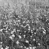 White Flowers, Black Land