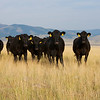 Cattle Call in Montana