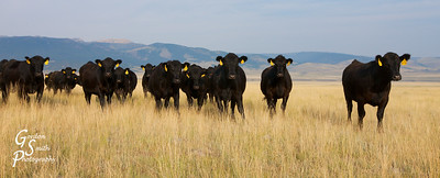Cattle Call in Montana:  these black cows with yellow ear tags like to see what's going on if a stranger wanders through their field.