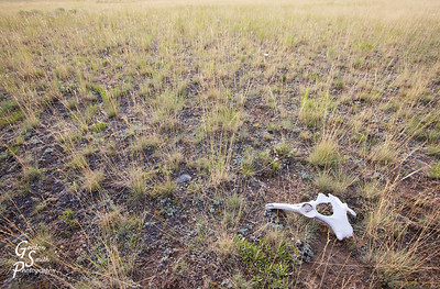 Bone and Grass in the middle of Nowhere, Montana