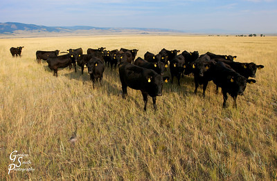 23 Cows in a Field Montana Prarie and Cattle Land