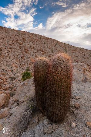 Two Barrel Cacti
