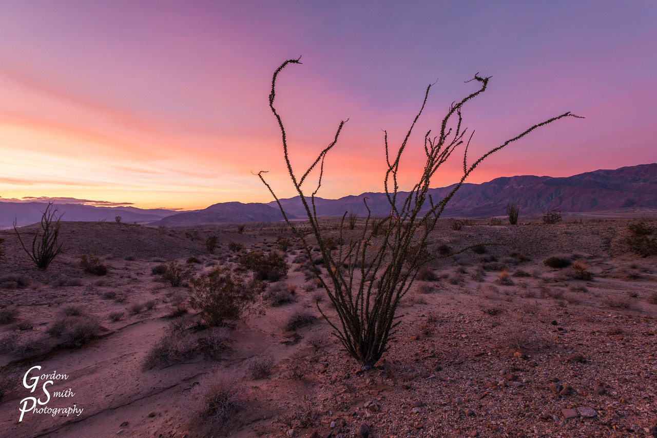 ocotillo plant at dusk