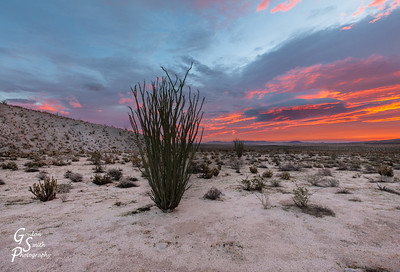 Ocotillo Alone