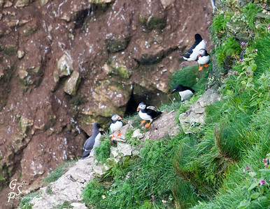 Puffins of Bempton Cliffs