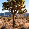 Healthy Large Joshua Tree