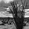Tall Ocotillo in Black and White