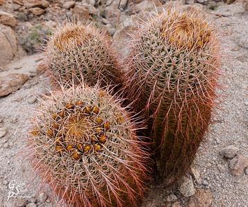 Barrel Cacti Group