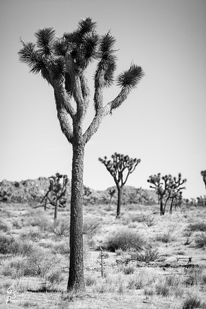 Infrared Joshua Tree