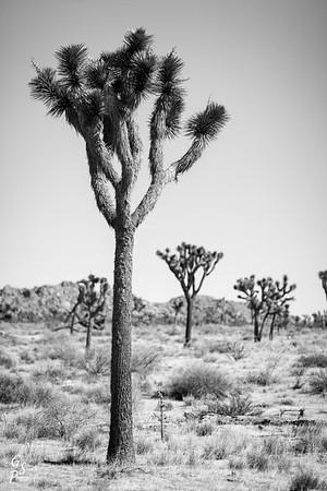 Infrared Joshua Tree