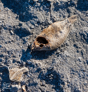 Dead Fish at Salton Sea