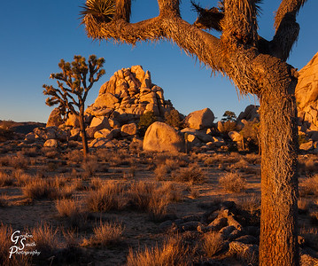 Joshua Tree and Boulders at Sunrise