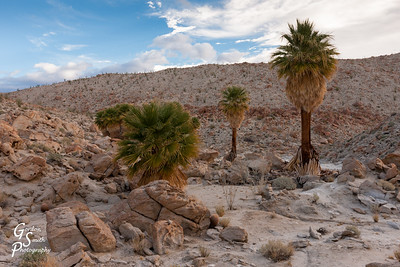 Palm Trees in Desert Canyon