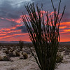 Tall Ocotillo at Sunrise