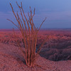Ocotillo Over Fonts Point