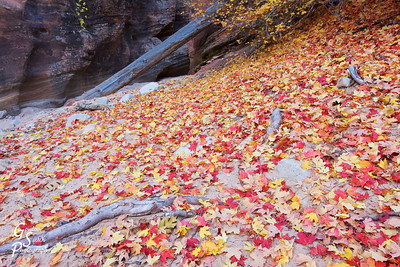 Fall in Zion  Leaves cover this sandy dry wash