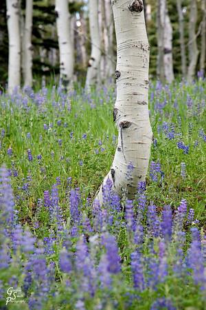 Aspens & Wildflowers