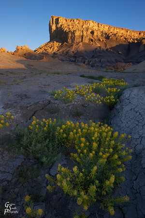 Desert Flowers in bloom