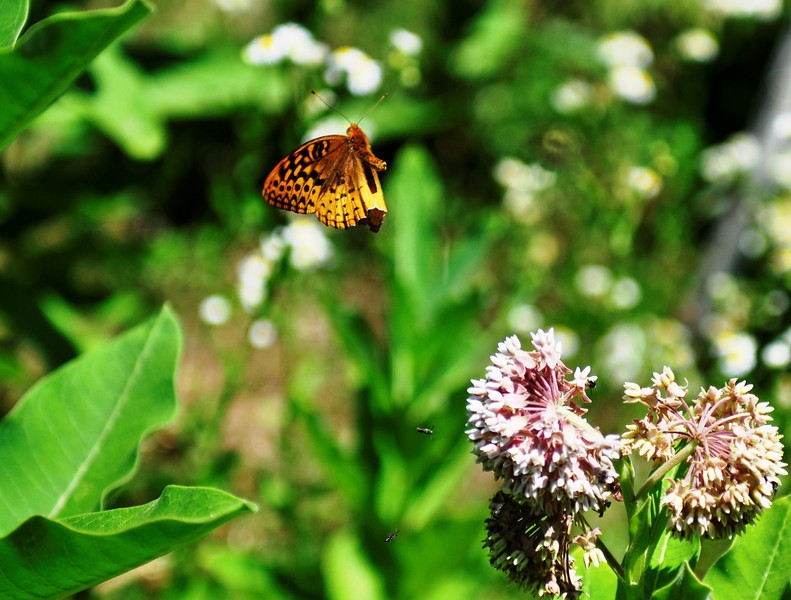 "In Flight<br /> <br /> Blue Ridge Butterfly. You can see little bugs flying next to the flower as well. It is almost like 3d, the butterfly is popping out from the picture.<br /> <br />  <a href=""http://sillymonkeyphoto.com"">http://sillymonkeyphoto.com</a>"