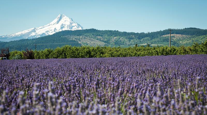 "Lavender Valley<br /> <br /> <a href=""http://sillymonkeyphoto.com/2012/02/11/lavender-valley/"">http://sillymonkeyphoto.com/2012/02/11/lavender-valley/</a>"