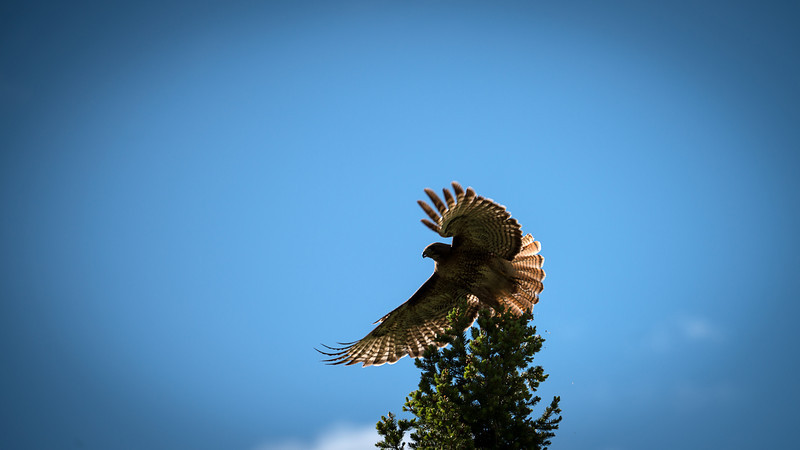 Yellowstone Wild Life