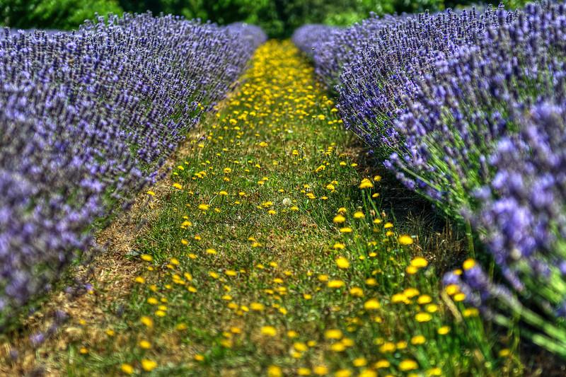 "Lavender Row<br /> <br />  <a href=""http://sillymonkeyphoto.com/2011/11/20/lavender-row/"">http://sillymonkeyphoto.com/2011/11/20/lavender-row/</a>"