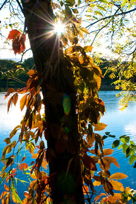 12 October 2011 : I have been trying to get a decent backlit tree but trying to maintain the fall colours.  This one worked pretty well, although I did boost the vibrance a little.