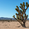 Arizona Joshua Tree