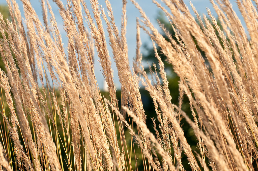 26th : So another grass image - this one with front lighting.  Don't know why, but the slightly abstract nature of this type of image appeals to me.