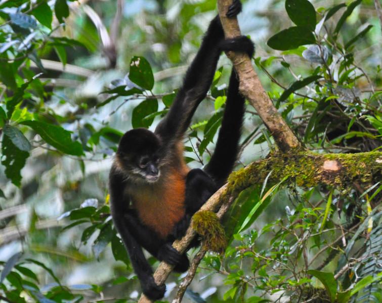 "Costa Rica Spider Monkey<br /> <br />  <a href=""http://sillymonkeyphoto.com"">http://sillymonkeyphoto.com</a>"