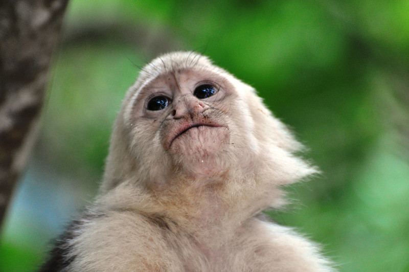 "Costa Rica White Faced Monkey<br /> <br />  <a href=""http://sillymonkeyphoto.com"">http://sillymonkeyphoto.com</a>"