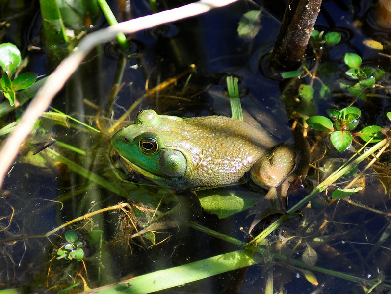 "Just a frog.<br /> <br />  <a href=""http://sillymonkeyphoto.com"">http://sillymonkeyphoto.com</a>"
