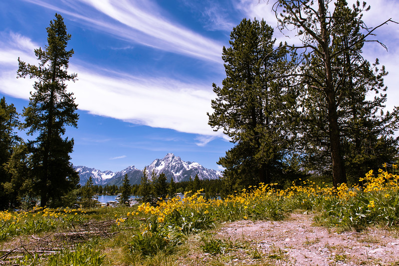 Grand Teton Yellow Flowers
