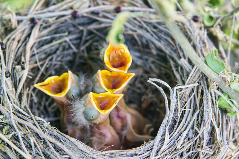 We have not one but two robin's nests close to where I can see the little babies. I worry that they are getting enough food but guess they are. There were five eggs but only see four little birdies.