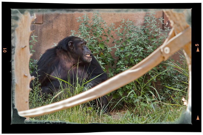 I haven't posted for a few days. I am getting discouraged with my photography and feeling a little stagnated. Looking for something different, Randy and I went to the zoo yesterday.  The weather was only in the upper 90's, haha. This gorilla and my work are still in the same boat, locked up with no way out. 8.2.12