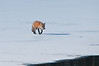 It was a cold winter morning when this fox appeared at a favorite cove that had mostly iced over. Eagles were perched in the trees, while this fox got his breakfast fish.